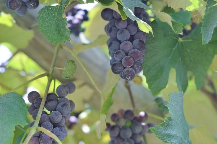how to make concord grape juice