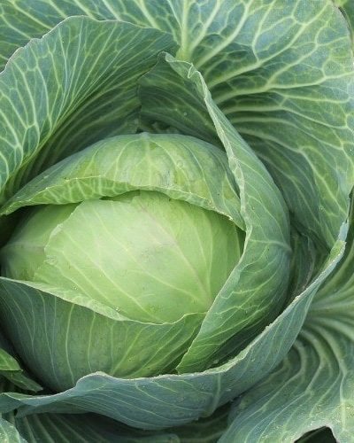 All about Cabbage and Cabbage Recipes